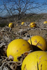 Calabazilla Fruiting