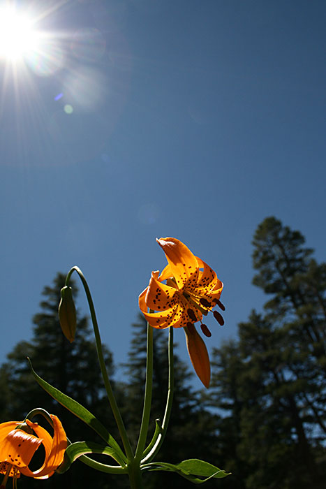 leopard lily against sun