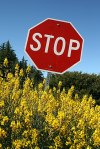 stop sign surrounded by spanish broom