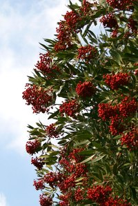 toyon plant bailey canyon