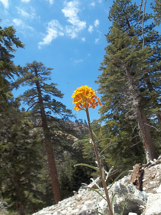 Icehouse Canyon Flower