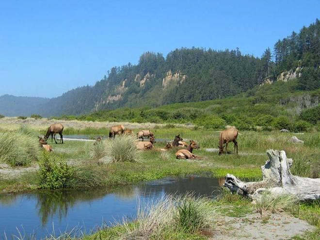 Prairie-Creek-Elk