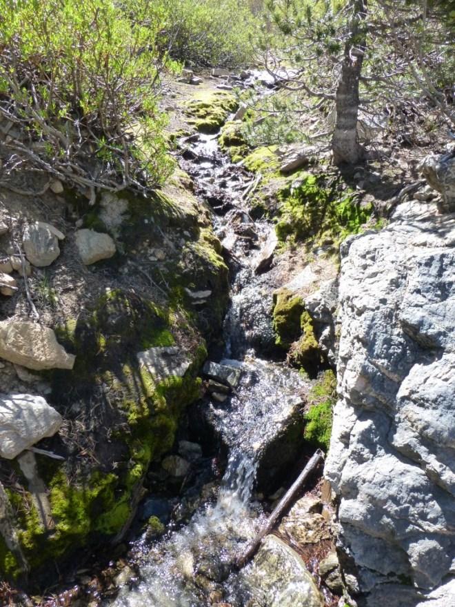 limber_pine_spring